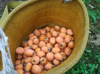 ビワ収穫.JPG